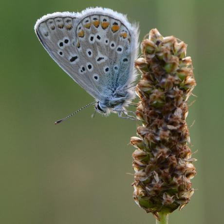 Vlinder in de late avond