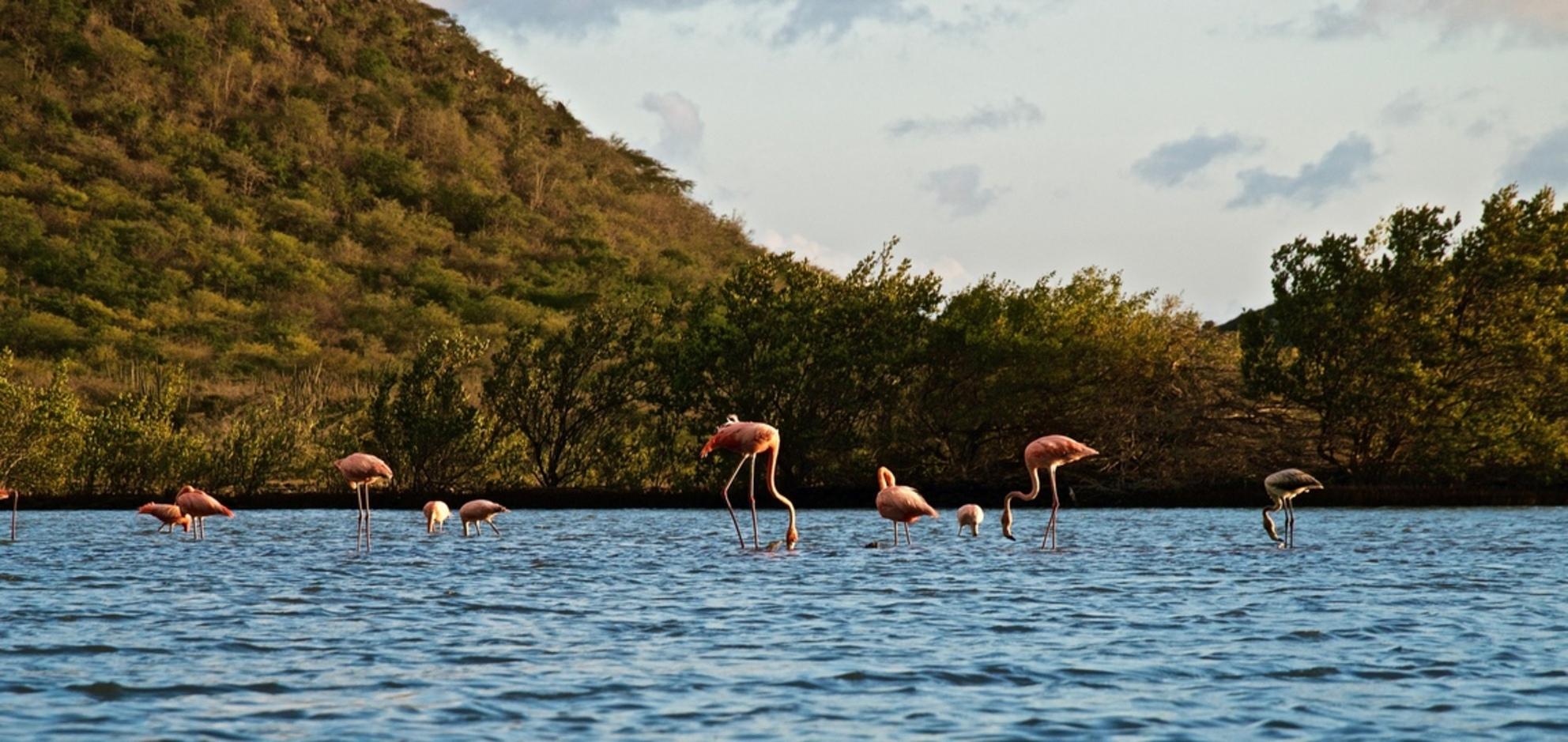 Flamingo-love. - Tijdens onze reis op Curacao kwamen we tijdens een prachtige zonsondergang flamingo's tegen bij St. Willibrordus. Prachtig! - foto door susannepannetje op 22-02-2019 - deze foto bevat: roze, water, vogels, flamingo, dieren, vogel, dier, curacao, zoutpannen, antillen, flamingos, willibrordus, nederlandse antillen, zoutpan, st. willibrordus