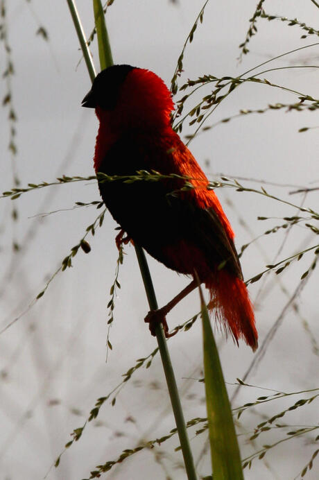 schaduw vogel west Afrika.