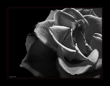 Rose in bw...