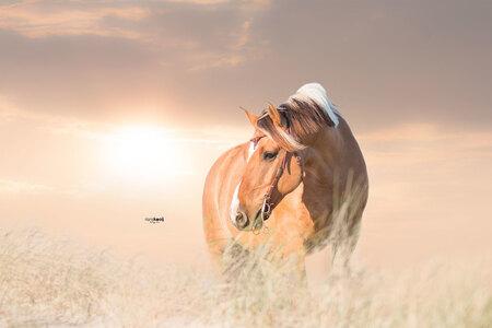 Paardje Vigo - Enige tijd geleden deze Hunk Vigo vast gelegd in de duinen. Geduldig en lief paardje, die ook nog onder het zadel een showtje weg heeft gegeven. - foto door riana op 08-06-2018 - deze foto bevat: strand, paard, zonsondergang