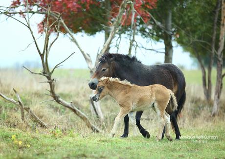 Exmoor pony's in Keent