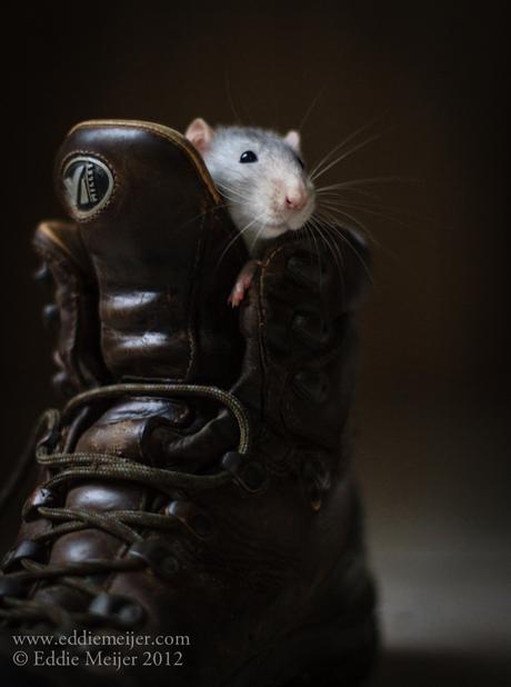 Rat in schoen