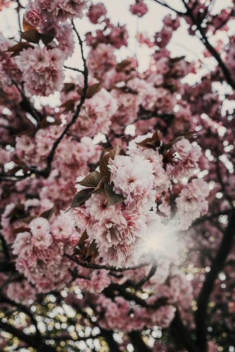 Pink Bloesem.