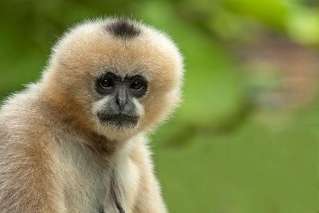 Witwang Gibbon.