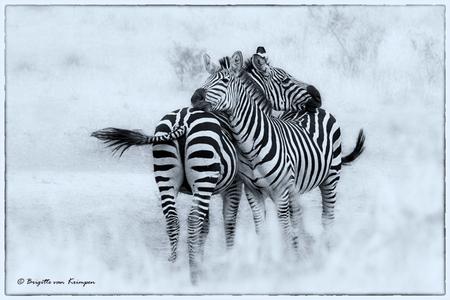Give me a hug - Iedereen bedankt voor de mooie reacties op mijn vorige uploads Weer even een uit Africa-Tanzania. Nog niet veel van geupload, dus nog een onuitputt - foto door Puck101259 op 28-02-2017 - deze foto bevat: zebra, natuur, safari, afrika, wildlife, streep, tanzania, strepen, staart, zoogdier, brigitte, Lake Manyara