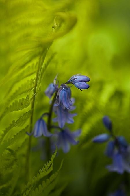lentebries - Ik heb een hoekje in de tuin waar de panten ongestoord hun gang mogen gaan. Hier staan oa hyacinten tussen de varens. Er stond gisteren wind en vind  - foto door willy4 op 07-05-2012 - deze foto bevat: tuin, hyacint, varen, willy4