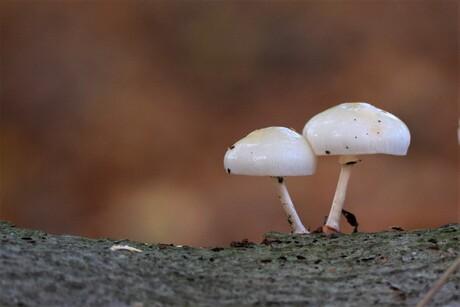 Duo op stam