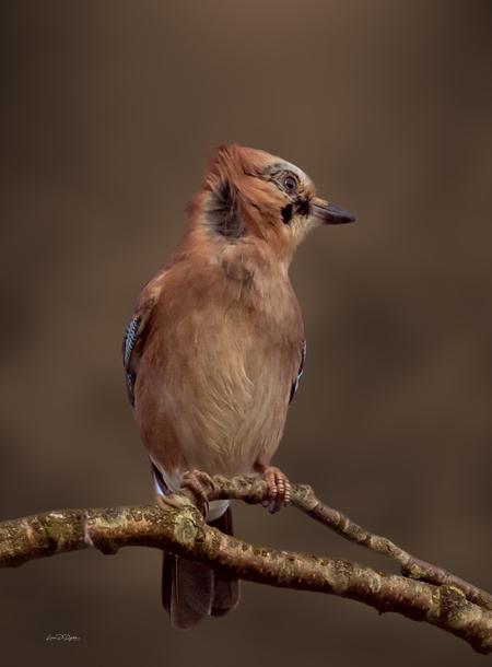 Vlaamse gaai in de wind - - - foto door luciadedycker op 17-02-2020 - deze foto bevat: vogel