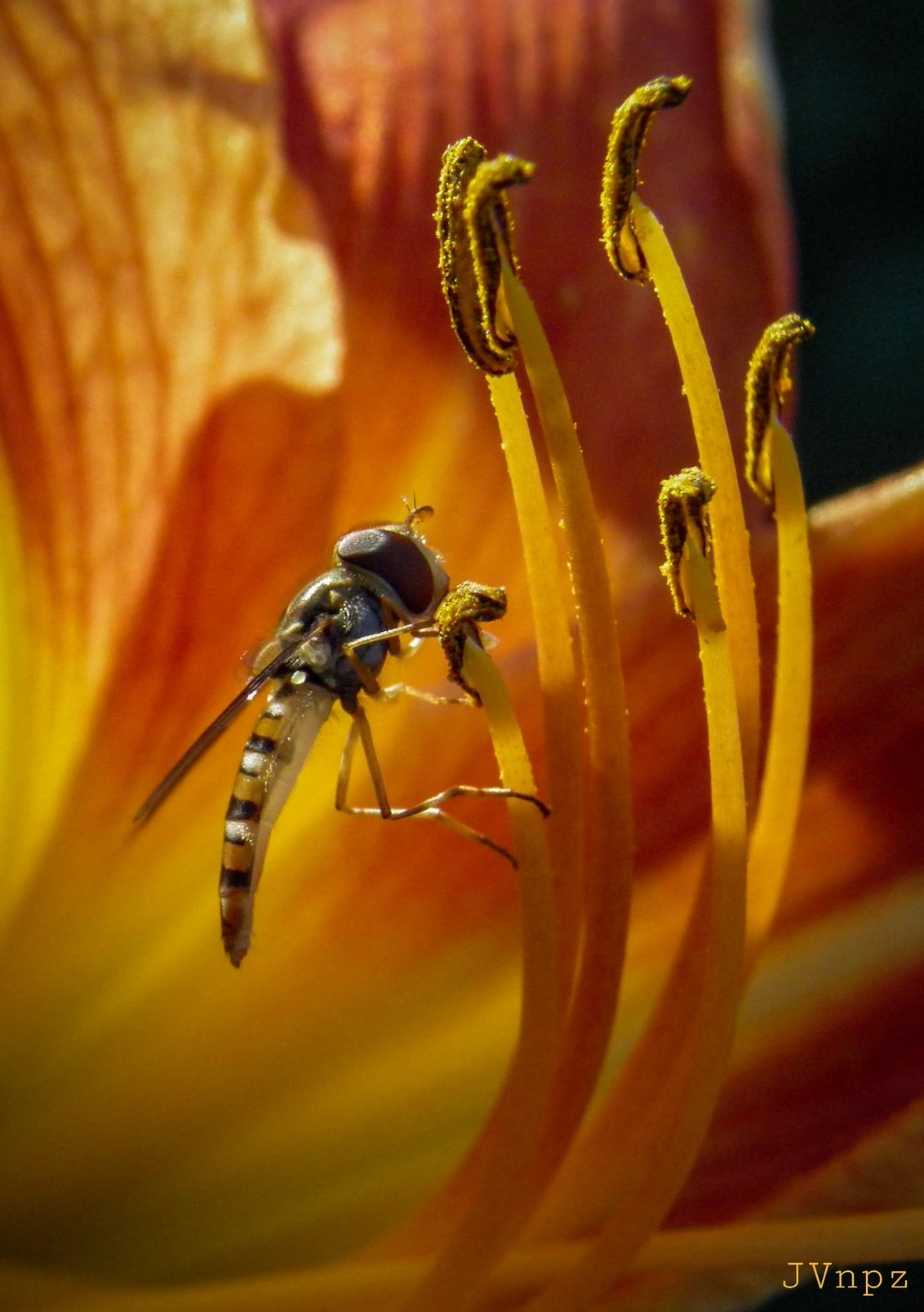 Inside a Lily 1 - - - foto door Vissernpz op 03-04-2021 - deze foto bevat: macro, zon, natuur, vlieg, oranje, tuin, zomer, insect, lelie