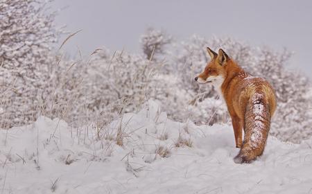 Vos in de sneeuw - Eindelijk, na al die jaren, is mijn geduld beloond; met een vos in de sneeuw. Een beeld waar ik al jaren op hoopte en van droomde. De hele dag gewac - foto door agnes bax op 08-01-2010 - deze foto bevat: sneeuw, winter, vos, fox, roofdier, zoogdier, Vulpes vulpes, Vos in de sneeuw
