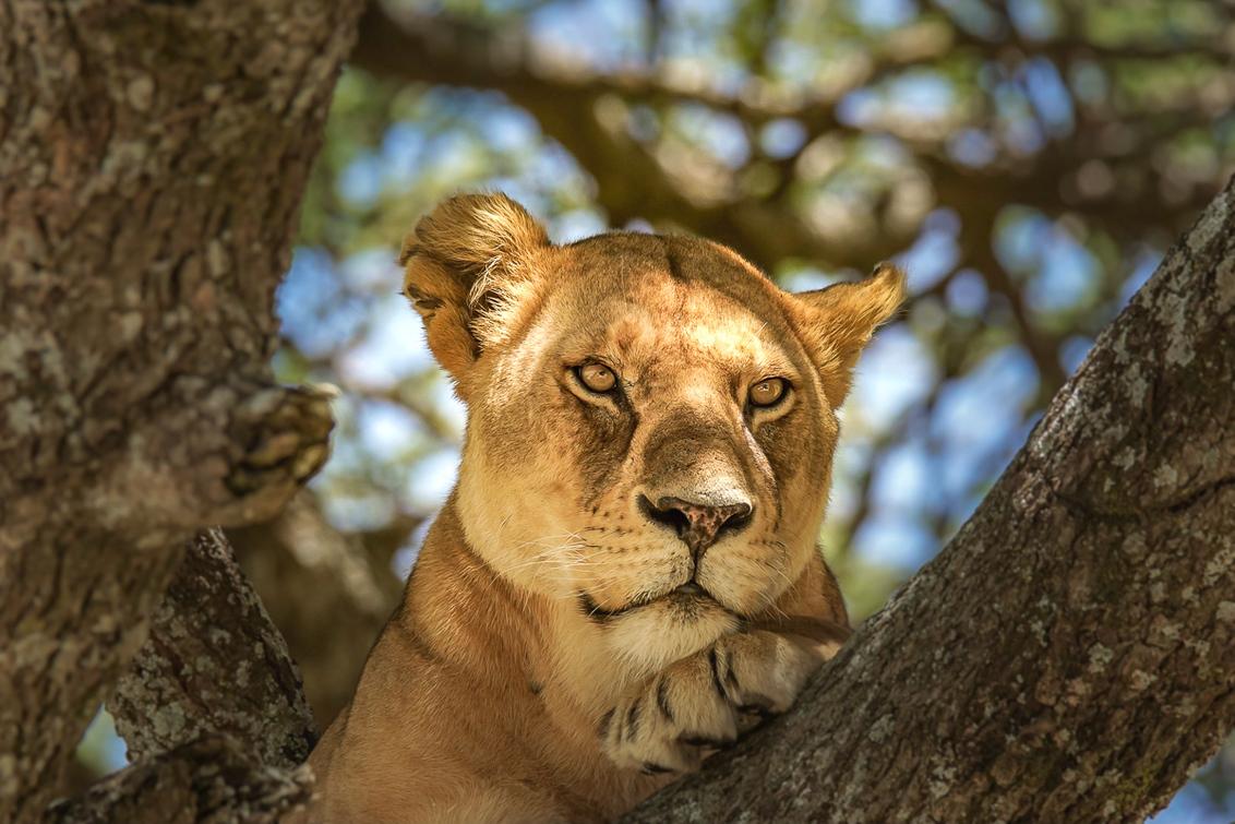 En u wilt ....? - Bijzonder moment, we troffen deze leeuw aan rustig liggend in een boom die het wel interessant vond om ons eens goed te bekijken. Als het lukt om de  - foto door lommer op 11-10-2018 - deze foto bevat: safari, leeuw, afrika, tanzania