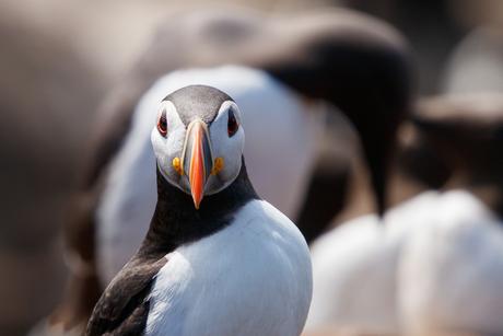 Papegaaiduiker poseert voor zeekoet
