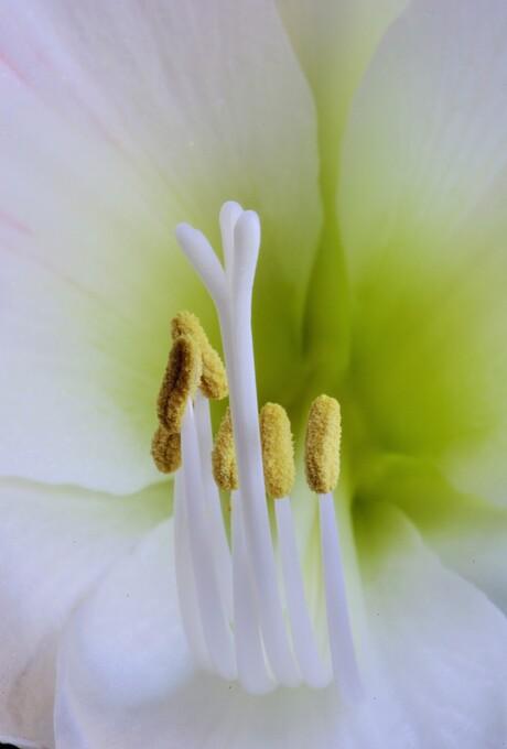 amarilis.jpg