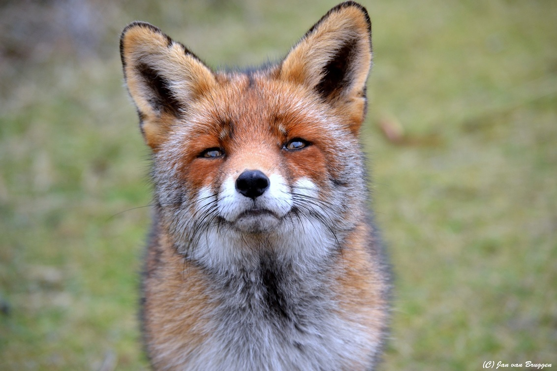 In memory of.. - In memory of.. Moertje.   Volgende week, 17 maart is het alweer 4 jaar geleden dat ik voor het laatst de meest fotogenieke vos ooit van de Amsterda - foto door Redfox16 op 09-03-2018 - deze foto bevat: natuur, dieren, vos, awd, moertje, www.jvbfotografie.nl, in memory of