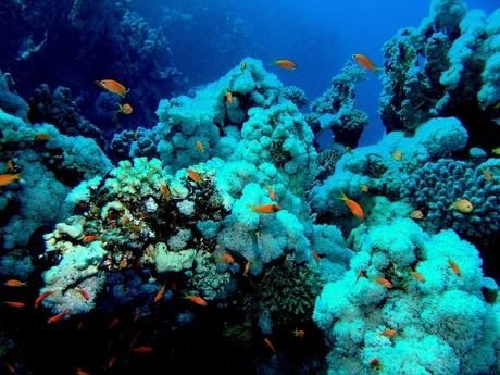 koraalvis
