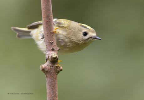 Kleinste vogeltje van Europa