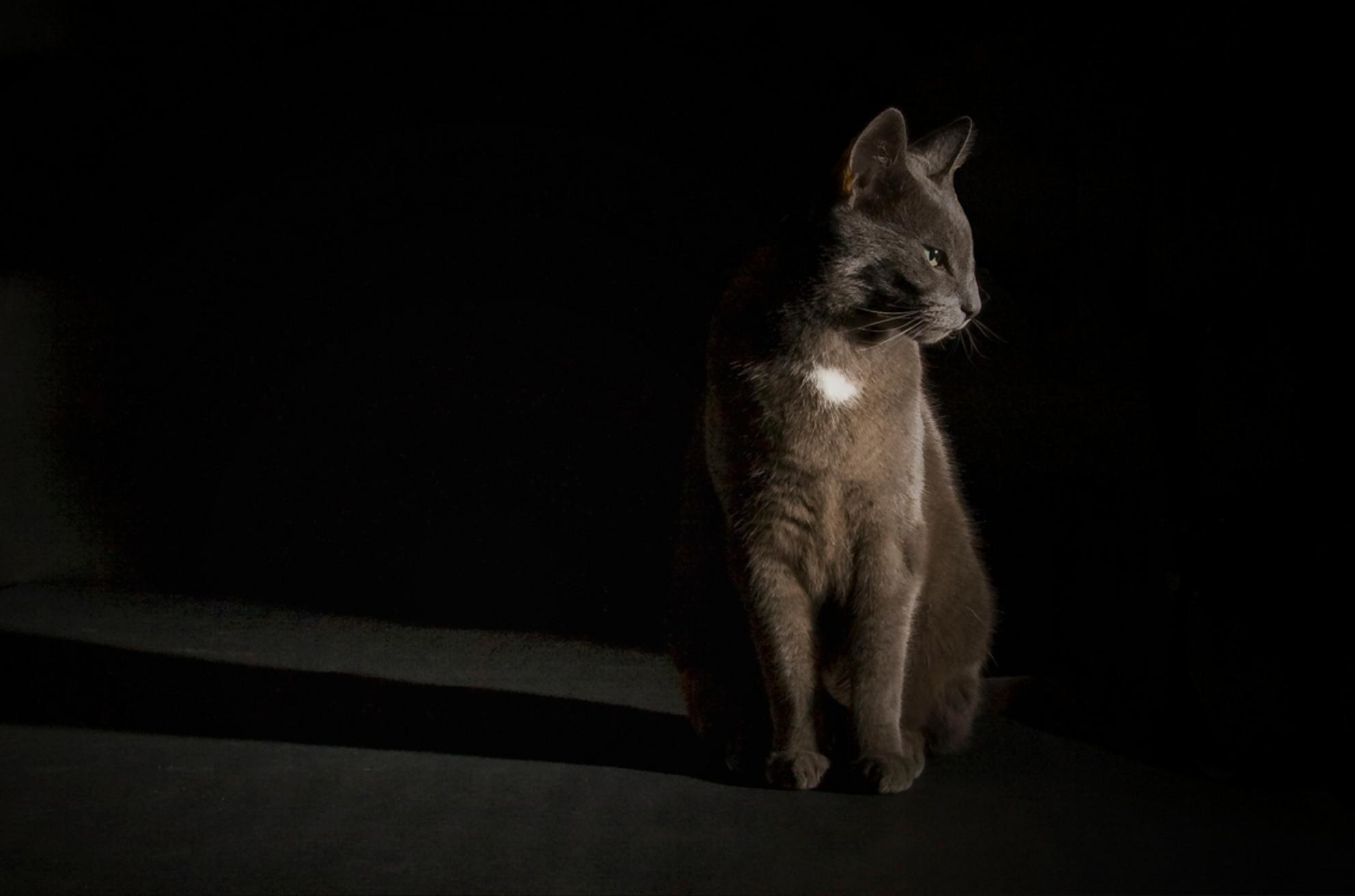 Gijs - Portretje van Gijs. Gelukkig vond hij het goed. - foto door suus72 op 30-09-2012 - deze foto bevat: donker, wit, licht, poes, zwart, huisdier, flits, kat, kater, grijs, pootjes, flitser, strobist, low-key, Blauwe Rus - Deze foto mag gebruikt worden in een Zoom.nl publicatie