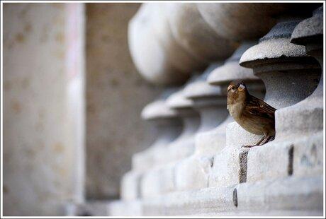 Een musje bij Louvre Paris