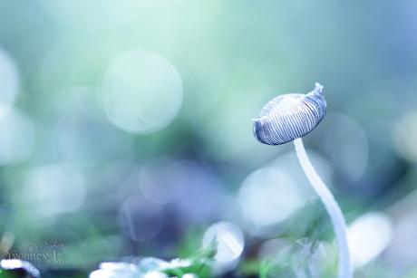 Hazenpootje (Coprinopsis lagopus)
