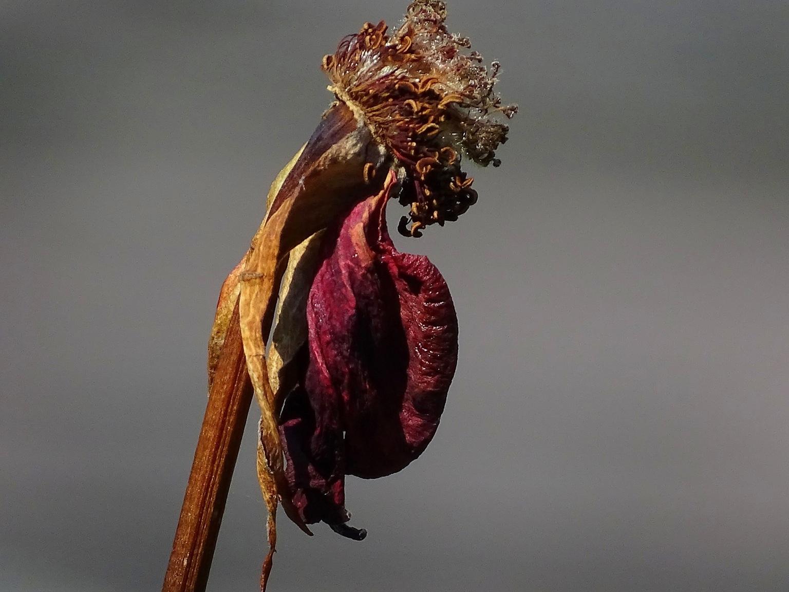 Das war einmaal - Een roos. - foto door jan.pijper op 18-04-2021 - deze foto bevat: fabriek, bloem, bloemblaadje, organisme, terrestrische plant, takje, bloeiende plant, macrofotografie, magenta, evenement