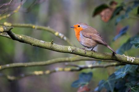 roodborstje - Een kleurrijk vogeltje. - foto door annaseb op 08-04-2021 - deze foto bevat: vogel, afdeling, takje, organisme, bek, fabriek, zangvogel, staart, hout, boom