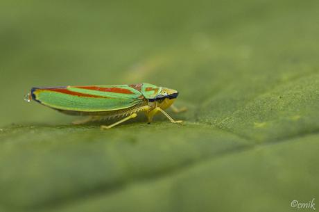 (Red-)Banded Leafhopper ♀