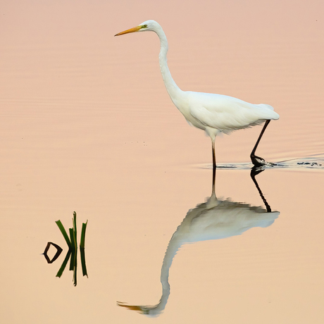 The Great Egret strikes again ...  II