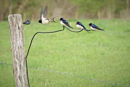 Boerenzwaluwen  - --- - foto door 9biscuitonline9 op 12-04-2021 - deze foto bevat: vogels, boerenzwaluw, natuur, dieren, lente, fabriek, vogel, bek, hek, hout, gras, draadafrastering, takje, grasland, weide