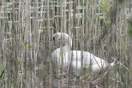 Zwaan nest