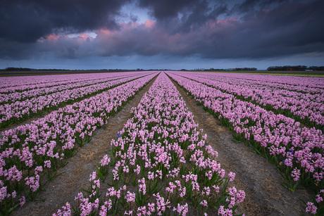 Hyacintenveld met donkere wolken