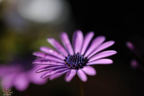 paars in de tuin na de regen