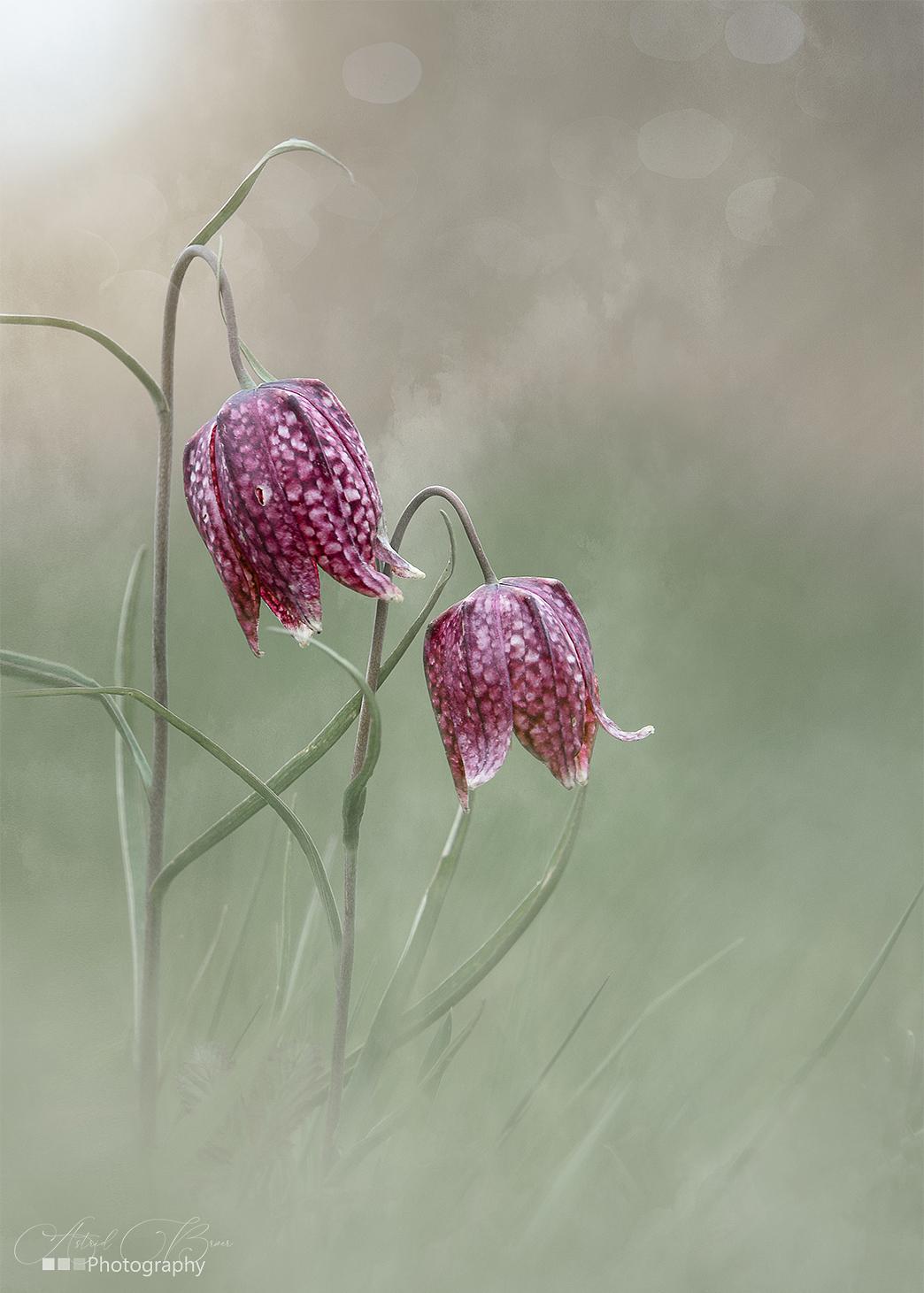 The two of us - Wilde Kievitsbloem - foto door AstridBroer op 14-04-2021 - deze foto bevat: bloem, natuur, wild, macro, paars, voorjaar, lente, zachtheid, groen, bokeh, pastel, bloem, snake's hoofd, bloemblaadje, fabriek, takje, creatieve kunsten, kunst, pedicel, magenta, bloeiende plant