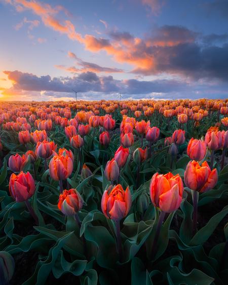 De eerste tulpen in Flevoland - Het tulpenseizoen staat op het punt van beginnen! Door de koude nachten laten de meeste velden nog even op zich wachten, maar een aantal velden hebbe - foto door MarijnAlons op 16-04-2021 - locatie: Dronten, Nederland - deze foto bevat: tulpen, tulp, focus stacking, hdr, zonsondergang, groothoek, natuurfotografie, landschapsfotografie, focusstacking, lente, voorjaar, wolken, lucht, gouden uurtje, oranje, bloem, fabriek, wolk, lucht, ecoregio, bloemblaadje, natuurlijk landschap, natuurlijke omgeving, vegetatie, zonlicht