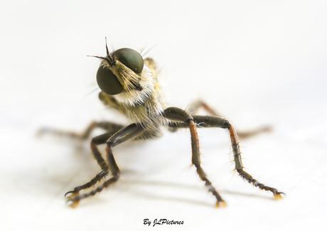 De Stekelpootroofvlieg (Machimus arthriticus)