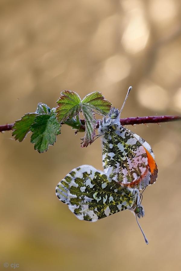 Liefde is  - Een paar oranje tiipjes in de vroege ochtend.  - foto door constant_zoom op 13-04-2021 - deze foto bevat: oranje, tipje, vlinder, voorjaar, paring, macro, geleedpotigen, bestuiver, insect, takje, bloeiende plant, macrofotografie, ongewervelden, dieren in het wild, natuurlijk materiaal, plaag