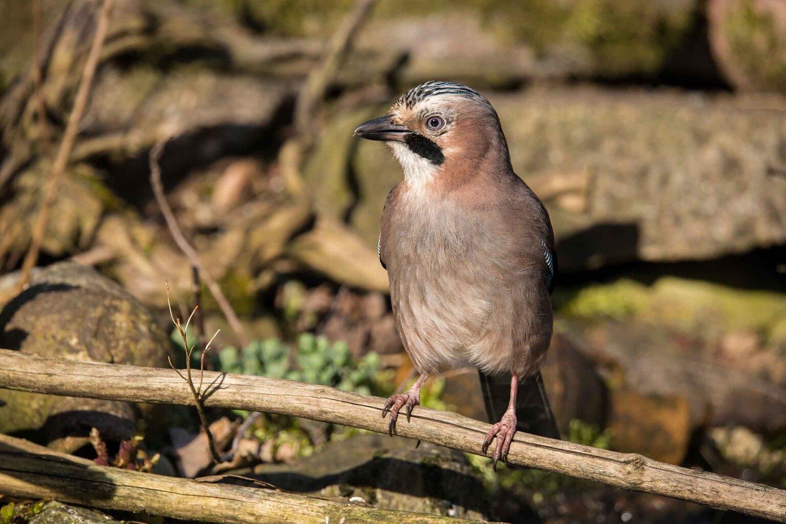 (Vlaamse) Gaai - Genomen in mijn tuin - foto door bertus52 op 16-04-2021 - deze foto bevat: vogel, fabriek, oog, bek, veer, takje, hout, terrestrische dieren, zangvogel, neerstekende vogel