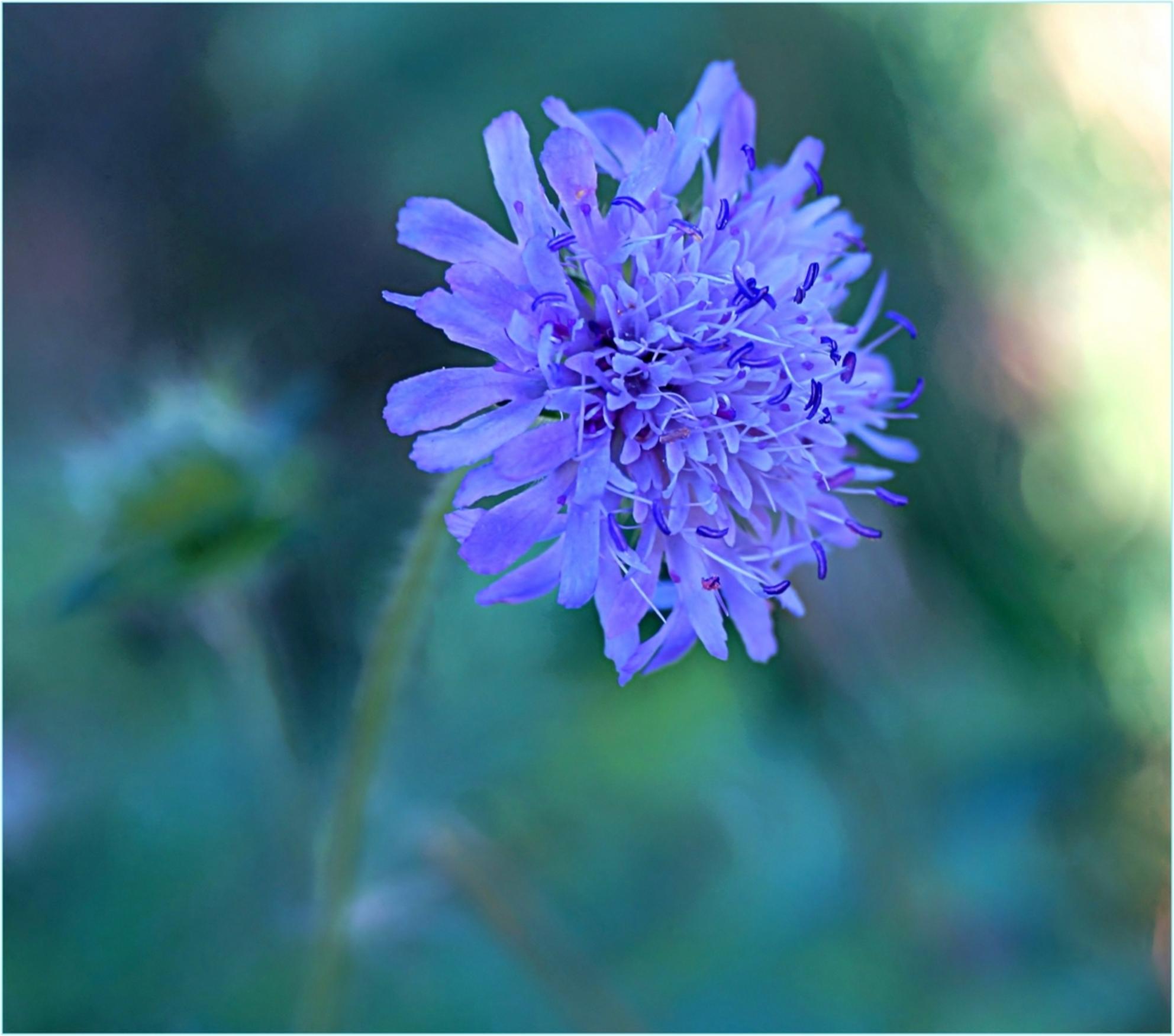 The last one . . - . . . één van de laatst bloeiende bloemen in de Heemtuin. - foto door 1103 op 19-11-2014 - deze foto bevat: macro, blauw, bloem, natuur, blauwtje, druppel, herfst, tuin, dof, bokeh - Deze foto mag gebruikt worden in een Zoom.nl publicatie