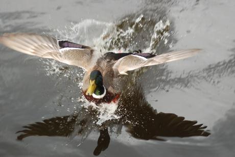 Opvliegende eend