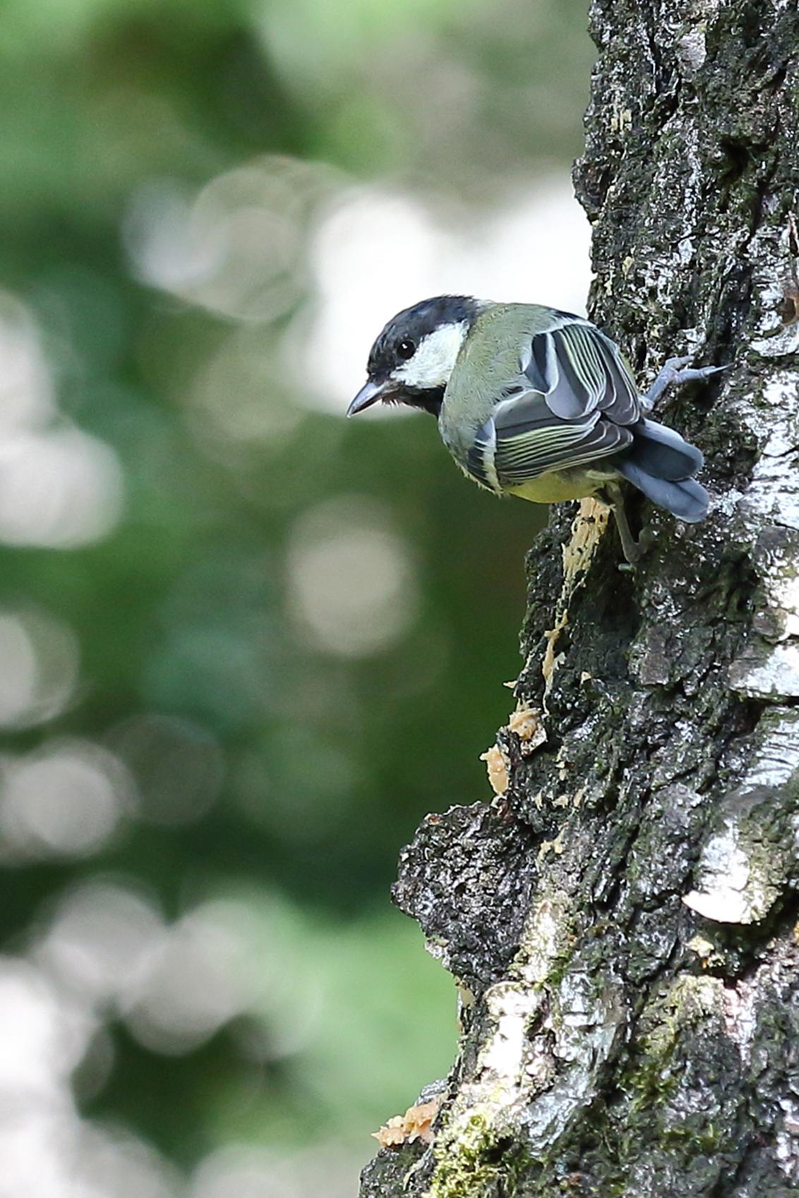 zijn ogen de kost geven - koolmees komt op de vogelpindakaas af - foto door AnneliesV op 14-03-2021 - deze foto bevat: natuur, dieren, vogel, koolmees