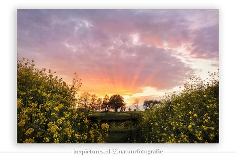 Koolzaadvelden bij zonsondergang