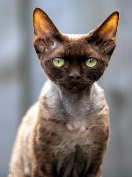 Devon rex kitten Zoana