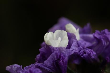 Nog een keer de paarse bloem met witte bloemetjes