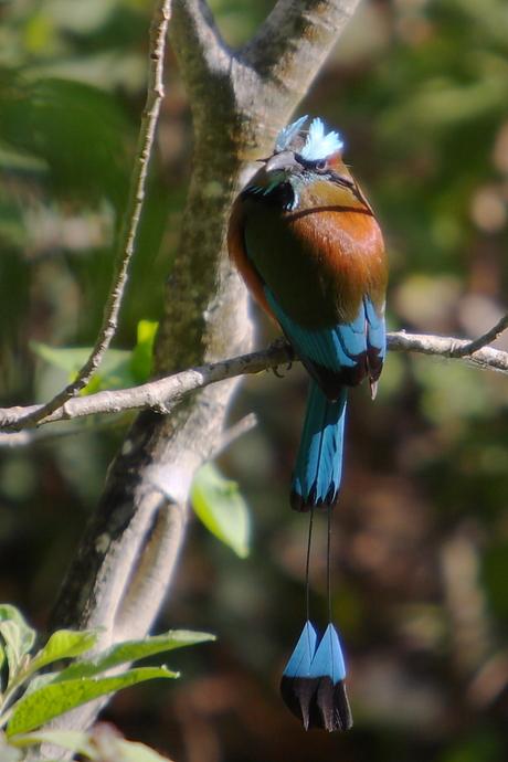Momotus momota (Blue-crowned mot mot)