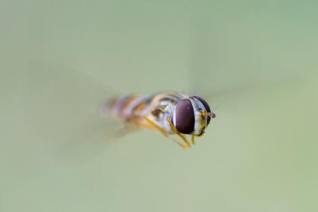 Vliegende Piyamazweeflieg