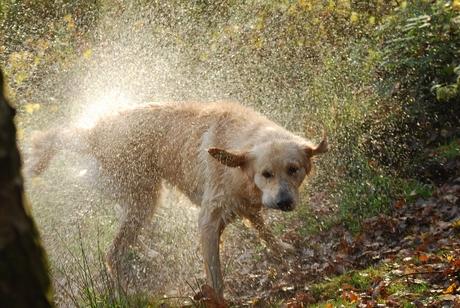 Spetterende hond