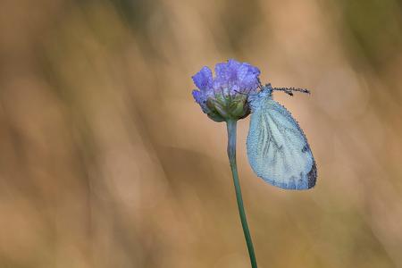 klein geaderd witje - - - foto door FrancoisP op 03-03-2021 - deze foto bevat: groen, macro, blauw, bloem, natuur, vlinder, bruin, druppel, geel, licht, tegenlicht, insect, dauw, bokeh
