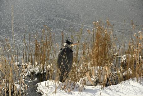Reiger schuilt voor de kou