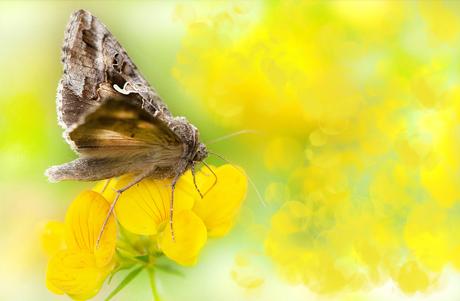 Gamma vlindertje,hij kijkt nog stiekem ff om ....