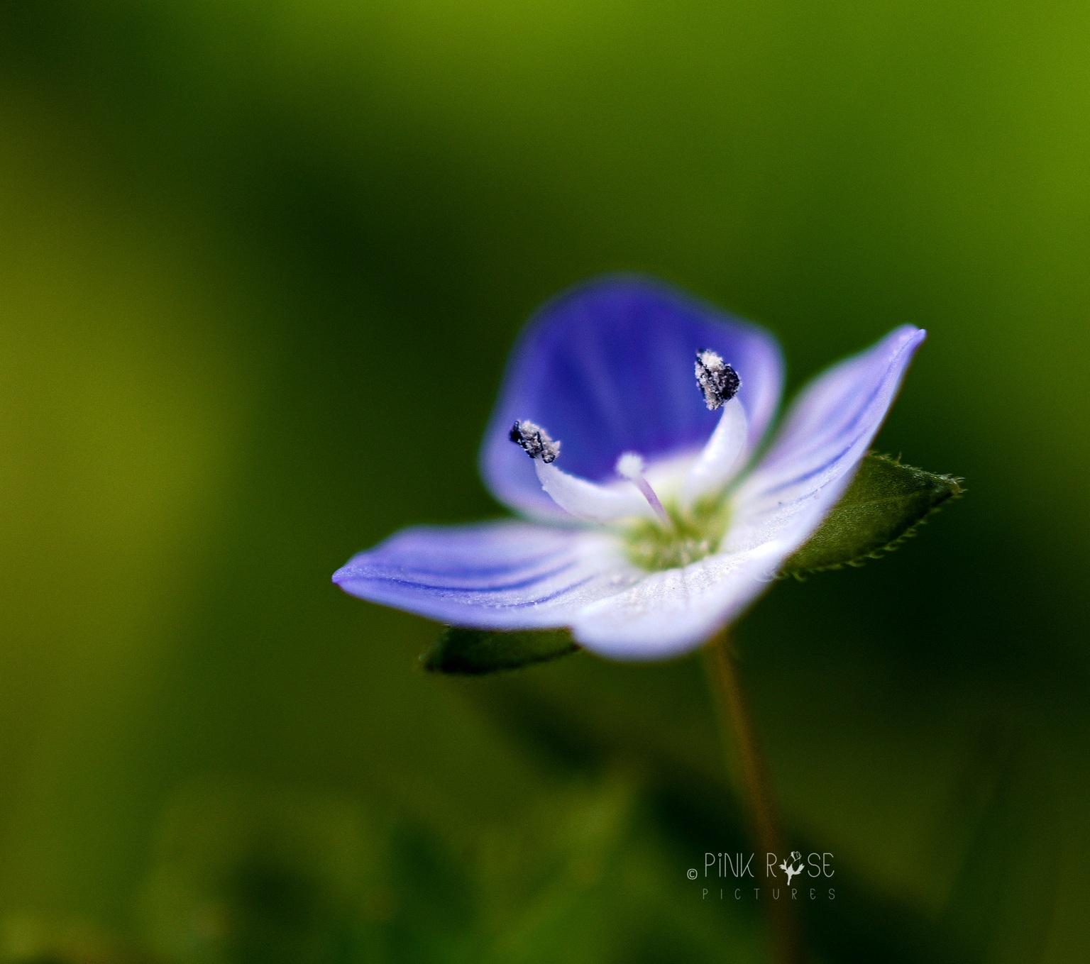 Engel - Dank voor de reacties bij de vorige upload.  Liefs Marieke  - foto door PinkRosePictures op 03-05-2021 - locatie: Eem, Nederland - deze foto bevat: macro, natuur, bloem, engel, vleugels, bloem, fabriek, bloemblaadje, terrestrische plant, kruidachtige plant, gras, bloeiende plant, pedicel, macrofotografie, elektrisch blauw